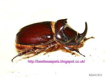 The European rhinoceros beetle, oryctes nasicornis, live L1-L2 larvae for sale
