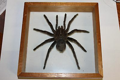 """7"""" Unique Real Tarantula Spider Taxidermy Mounted & Framed"""