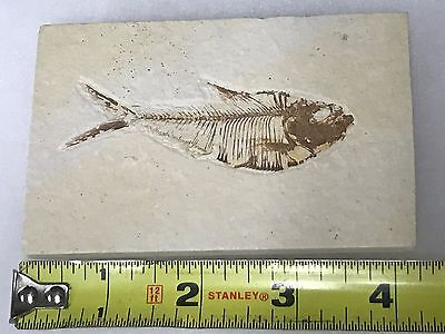(#66) Knightia Eocaena Fish Fossil Green River Formation Wyoming Eocene Age
