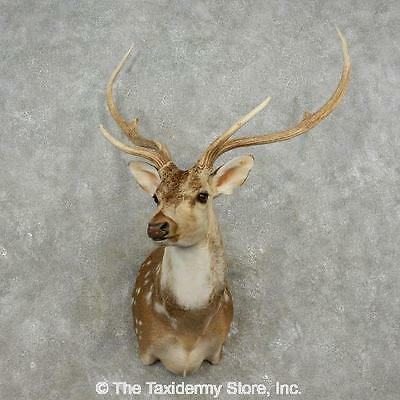 #17355 P+ | Axis Deer Taxidermy Shoulder Mount For Sale