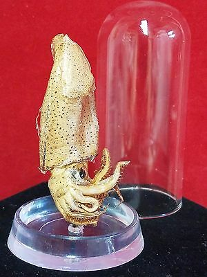 *Taxidermy Small Humboldt Squid Glass dome Display//ocean-octopus-fish-beach