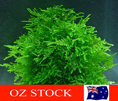 Peacock Moss - Live Aquarium Plants for Shrimp & Aquarium Fish Tanks