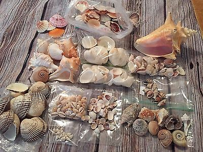 Sea Shells Collection for Crafting or Display 300+ Shells Drill, Conch, Cone