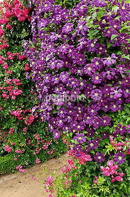 Hot Sale 50PCS Mixed Colors Clematis Climbing Flower Seeds Home Garden Decor CA