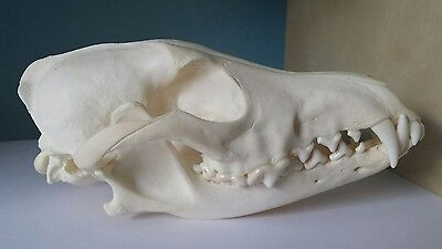 REAL Coyote Skull Taxidermy Animal Teeth Claws Nice Gifts Arts Decoration Crafts
