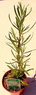 Tarragon French, Culinary Herb Plant, Artemisia dracunculus.French Haute Cuisine