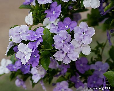 Brunfelsia latifolia • 10 Samen/seeds • Duft • 'Yesterday-Today-and-Tomorrow'