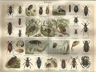 1887 Käfer Original Alter Farbdruck Chromo-Lithographie Antique Print Zoologie