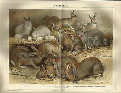 1887 Kaninchen Alter Farbdruck Chromo-Lithographie Antique Print Zoologie