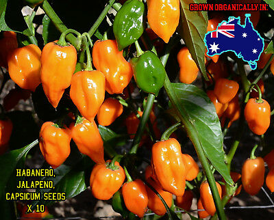 Habanero Chilli Pepper 10 Seeds Scotch Bonnet Jalapeno Capsicum Super Hot Chilii