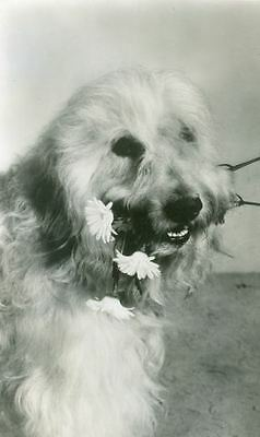 Unusual Personal Photo Postcard PC Bearded Collie with Daisies Holland 1940s