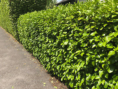 30 X Griselinia hedging, New Zealand Evergreen Laurel, 60-70cm, Potted