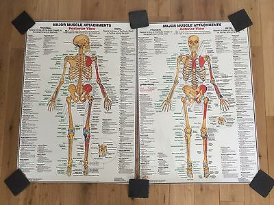 Chartex x2 Laminated Anatomy Muscle Attachment Wall Posters
