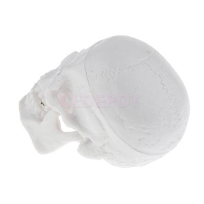 Mini Medical Anatomy Model Head Skull Skeleton Collectibles Halloween Toy