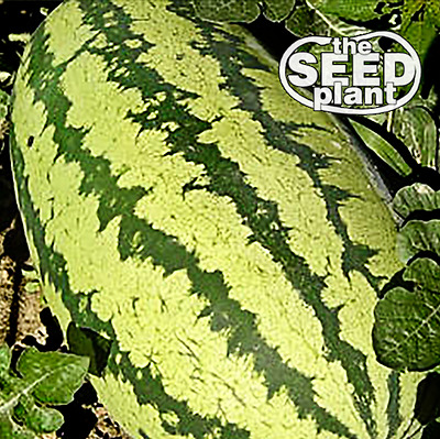All Sweet Watermelon Seeds 50 SEEDS NON-GMO