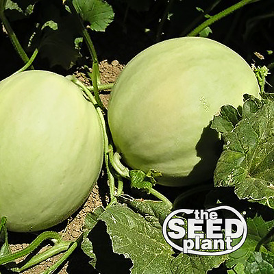 Honeydew Melon Seeds 25 SEEDS NON-GMO