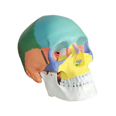 Human Skull Anatomy Model with Colored Bones Anatomical Model Teaching Study