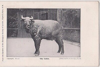 Pc The Takin London Zoo Photo By W S Berridge , C 1915