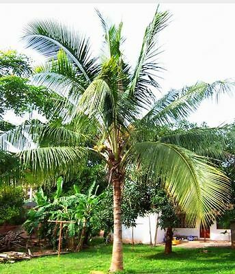 10 PCS Coconut Tree Seeds Giant Miracle Fruit Tree High Nutrition Juicy Fruits