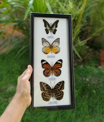 3 Real Mounted Butterflies Rare Framed Real Butterflies Insect Display Decor 2
