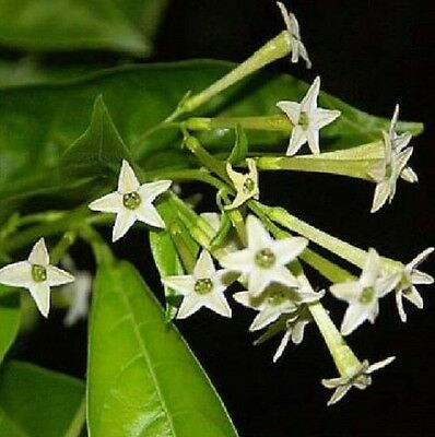 30PCS Seeds Rare Night Blooming Jasmine Plant ( Cestrum Nocturnum ) Home Garden