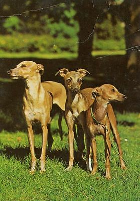 Vintage Oversize Postcard PC 3 Italian Greyhound Dogs Germany c1980s Vogeler