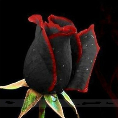 150 Seeds - Beautiful Amazing Black Rose Flower with Red Edge Black Rose Seeds