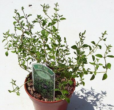 Thyme Common Thymus vulgaris Delicious Culinary Medicinal Aromatic Herb Plant