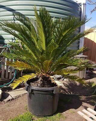 Palm Tree/ Sago palm/Japanese palm tree potted. Approx 140 cm. Tall.