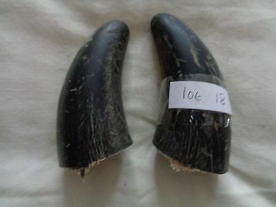 2 Buffalo horn tips lot 18