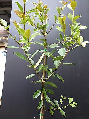 Fruit Tree Guava  extensive varieties  200mm pot approx  1.2m hgt  $28-00 ea