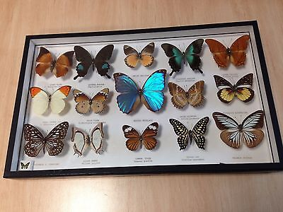 Real Dried Butterflies - Boxed