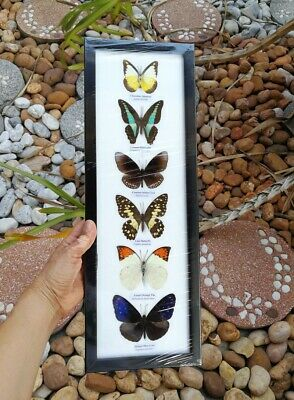 Real 6 Mix Butterfly Taxidermy Rare Frame Portrait Display Mounted Insect Gift 3