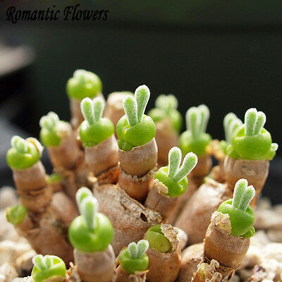 300pcs Rare Rabbit Ears Green Seed Seeds Succulents for Home Garden Office