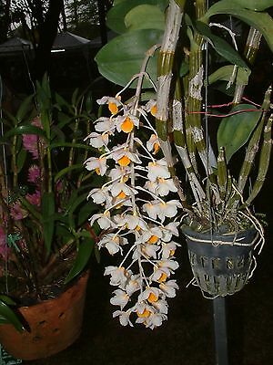 Orchid specie seeds: Dendrobium palpebrae - Year 2017