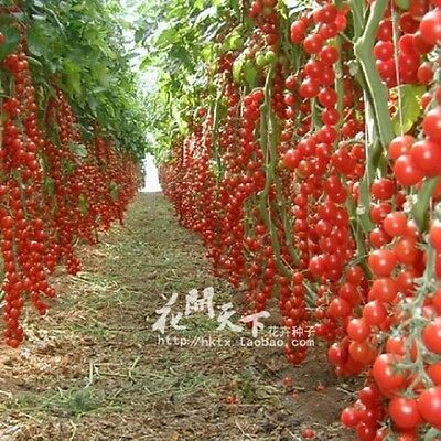 200PCS Colorful Mix Tomato Seeds Plant Pots Planters Plants Garden Home