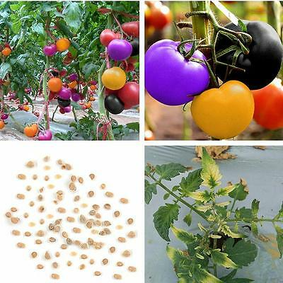 Rare Imported Rainbow Tomato Seeds Vegetable Seeds Potted Plant 100 Seed(002356)