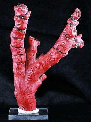 *** Large Dyed Red Bamboo Coral Branch Specimen Deep-Sea Coral 5.9 In Long ***