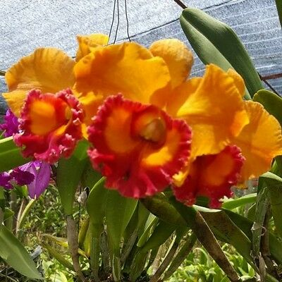 Cattleya Orchid 1 Plant Hybrid Thainan Gold Blooming Size From Thailand