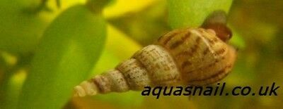 2 Adult Malaysian Trumpet Snails MTS Lrg size Algae Eater Tropical tank cleaner