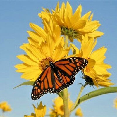 100+MAXIMILIAN (Prairie) SUNFLOWER Seeds American Native Wildflower PERENNIAL