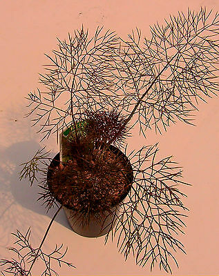 Fennel, Bronze,. Culinary/Medicinal  Herb Plant Foniculum vulgare
