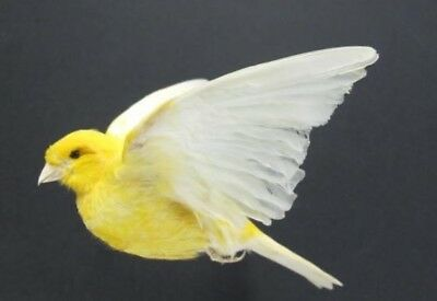 Flying Yellow Canary Real Bird Taxidermy Mount with Wings Up