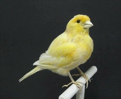 Plump Yellow Canary Real Bird Taxidermy Bird Mount