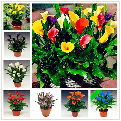 100PCS Mix of Calla Lily Seeds Seed Flower Garden Planting Pot Plant Perennial