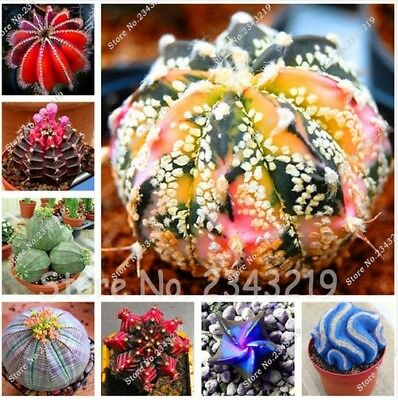 100 pcs Fairy Succulents Seeds Semillas De Flores lithops Seed Mini Cactus