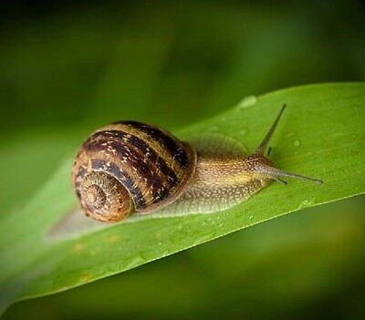 3 - 50  LAND SNAILS ALIVE Helix Aspersa Muller Little Cute Pets Live from Nature