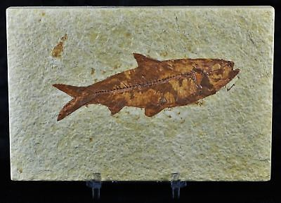 Knightia Eocaena Fossil Fish Green River Wy Eocene Age 4 Inches Long Free Stand