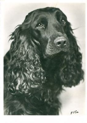UNUSUAL Oversize SIGNED Postcard PC French Field Spaniel Dog France 1945