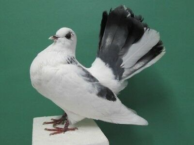 White & Gray Fantail Pigeon Real Bird Taxidermy Bird Mount